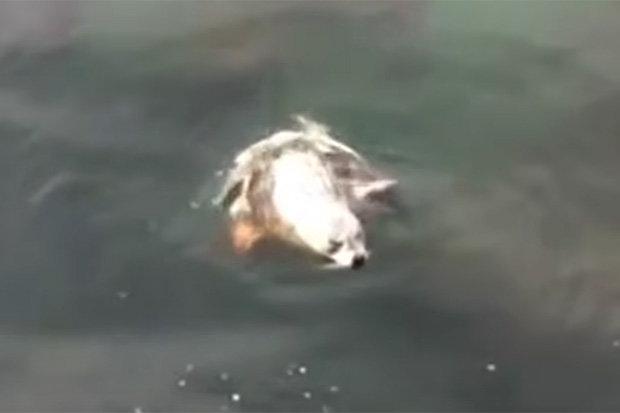 Hải cẩu phơi nắng bị bạch tuộc khổng lồ kéo vào tử chiến - 2