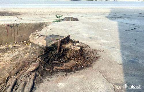 Thêm một huyện của HN chặt hàng loạt cây xanh khi dẹp vỉa hè - 5