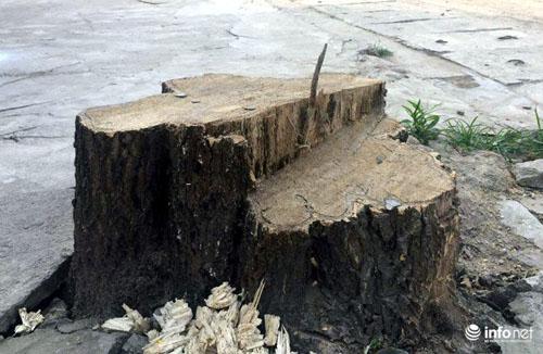 Thêm một huyện của HN chặt hàng loạt cây xanh khi dẹp vỉa hè - 6