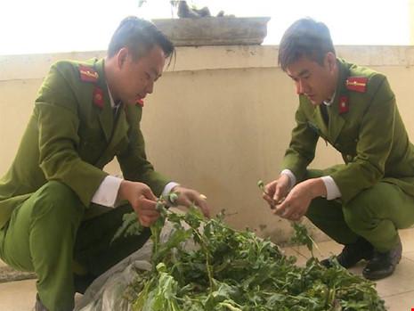 Cảnh sát đột nhập, phát hiện cả vườn hoa thuốc phiện - 1