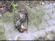 Thế giới - Video: Trăn há mồm nuốt chửng mẹ con thú có túi ở Úc