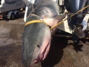Thế giới - Úc: Sa lưới ngư dân, cá mập hổ nặng 4 tạ chết thảm