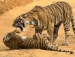 """Hổ mẹ Ấn Độ gầm gừ, """"mắng"""" té tát hổ con nghịch bẩn"""