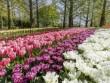 Sững sờ trước vẻ đẹp của 7 triệu bông hoa tulip đồng loạt bung nở