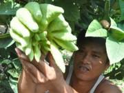 """Tài chính - Bất động sản - Trồng cây tiền tỷ: Cây """"bàn tay Phật"""" có gì đặc biệt?"""