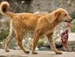Nữ bệnh nhân bị chó hoang tha lôi, ăn nửa người ở Ấn Độ