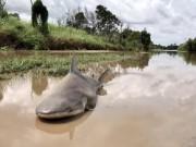 Thế giới - Úc: Giật mình thấy cá mập bò nằm chềnh ềnh giữa đường