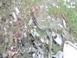"""Ấn Độ: Dân làng lấy chăn chiếu """"hầu"""" đôi rắn giao phối"""