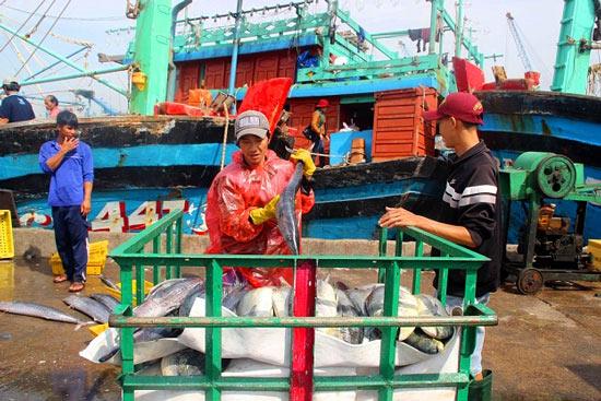 Đầu năm, ngư gia Bình Định trúng đậm cá ngừ sọc dưa thu bay tiền tỷ - 3