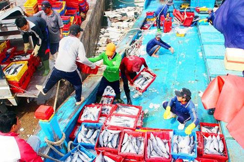 Đầu năm, ngư gia Bình Định trúng đậm cá ngừ sọc dưa thu bay tiền tỷ - 4