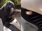 """Video: """"Hết hồn"""" rắn hổ chui vào Honda SH"""