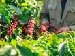 Hợp tác công-tư giúp cà phê Việt  sống khỏe  và phát triển bền vững