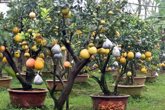 Clip: Độc đáo lượng có 10 loại trái với chín rộ ra cơ hội Tết - 1
