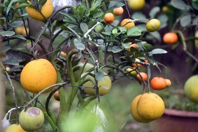 Clip: Độc đáo lượng có 10 loại trái với chín rộ ra cơ hội Tết - 2