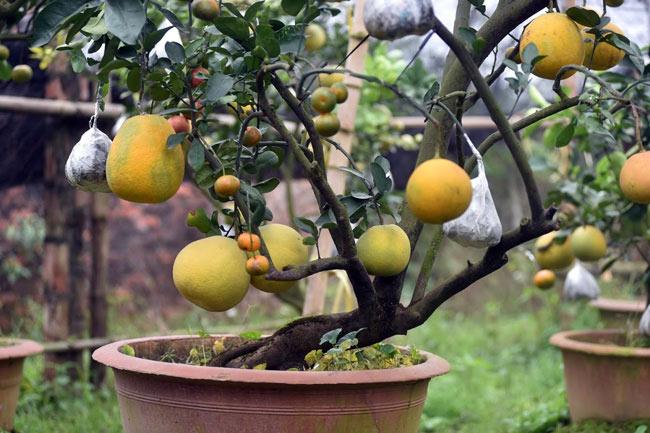 Clip: Độc đáo lượng có 10 loại trái với chín rộ ra cơ hội Tết - 3