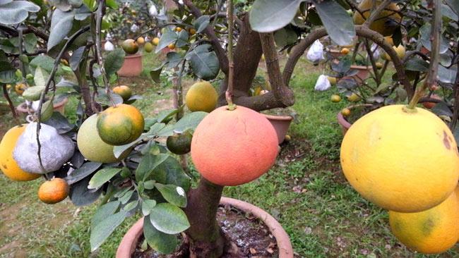 Clip: Độc đáo lượng có 10 loại trái với chín rộ ra cơ hội Tết - 5
