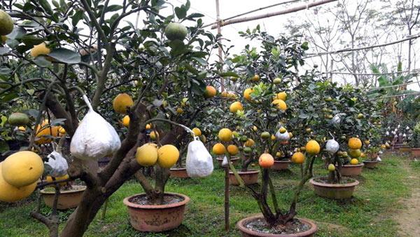 Clip: Độc đáo lượng có 10 loại trái với chín rộ ra cơ hội Tết - 6