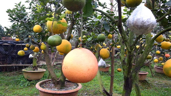 Clip: Độc đáo lượng có 10 loại trái với chín rộ ra cơ hội Tết - 7