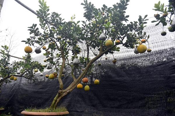 Clip: Độc đáo lượng có 10 loại trái với chín rộ ra cơ hội Tết - 8