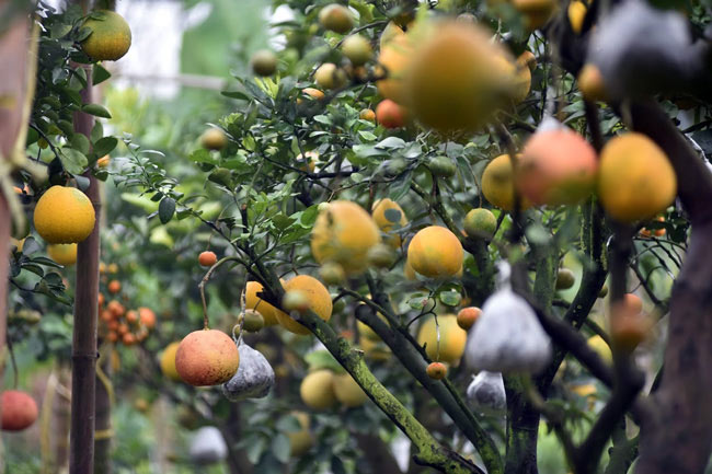 Clip: Độc đáo lượng có 10 loại trái với chín rộ ra cơ hội Tết - 9