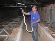 Tin tức trong ngày - Sởn gai ốc trước đàn rắn trăm triệu của lão nông U50