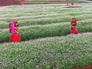Ngỡ ngàng vẻ đẹp mê hồn của vườn hoa tam giác mạch ở miền Tây xứ Nghệ