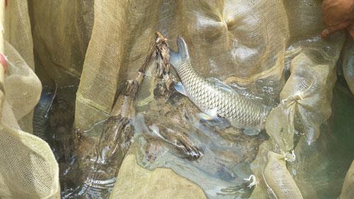Cá lồng đặc sản sông Đà, xuân nào bán cũng chạy - 1