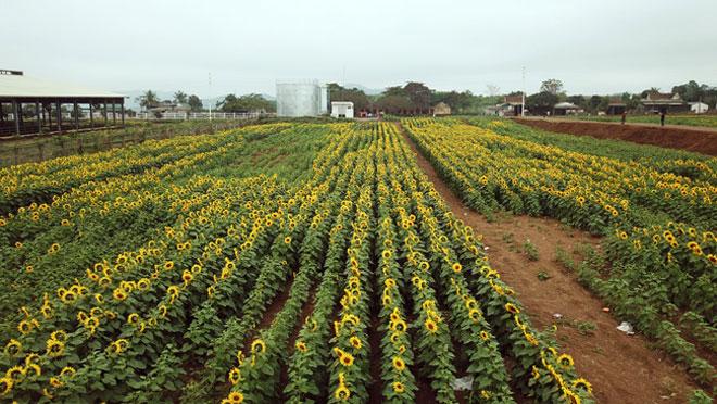 Tới xứ Nghệ ghé thăm cánh đồng hoa hướng dương miễn phí tham quan - 3