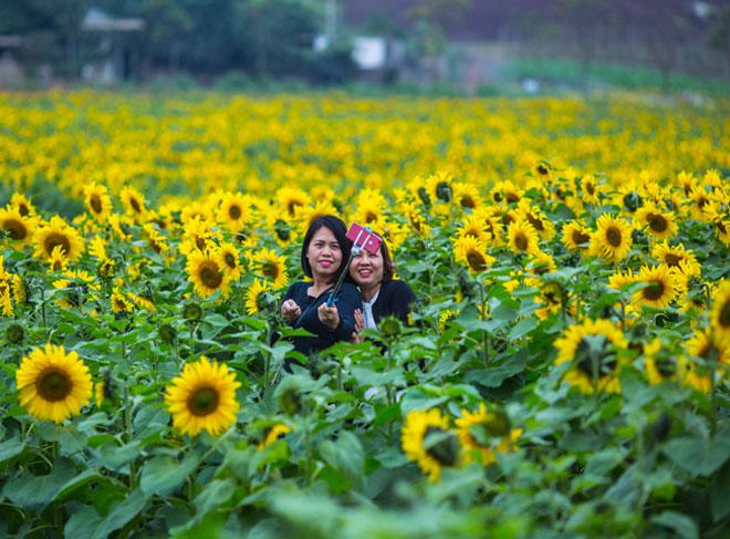 Tới xứ Nghệ ghé thăm cánh đồng hoa hướng dương miễn phí tham quan - 6
