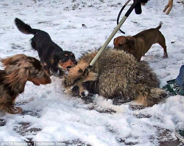 Bên trong trại huấn luyện chó săn đẫm máu ở Nga - 2