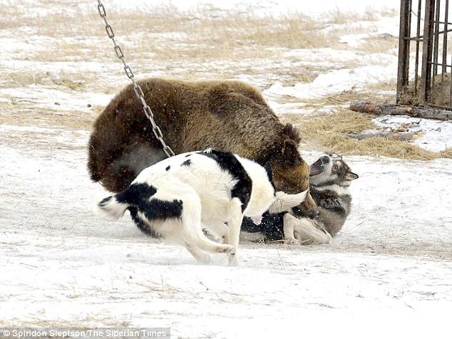 Bên trong trại huấn luyện chó săn đẫm máu ở Nga - 3