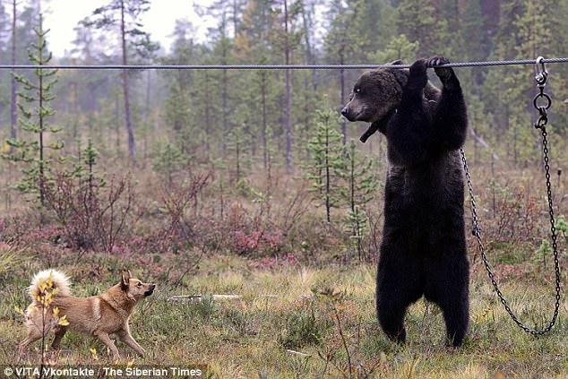 Bên trong trại huấn luyện chó săn đẫm máu ở Nga - 1