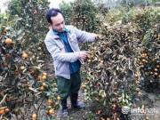 Thị trường - Tiêu dùng - Thanh Hóa: Xót xa nhìn hàng trăm cây quất cảnh chết dần khi bị kẻ gian phá hoại