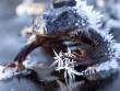 Mỹ: Loài vật biết ngừng não, ngừng tim chờ hết rét kỷ lục để sống lại