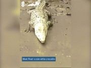 """Cá sấu da  """" trắng nõn """"  bị chính đồng loại của mình ghét bỏ"""