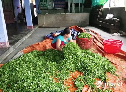 Chỉ trồng rau má mà cả làng này khấm khá - 4