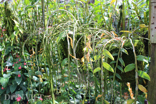 """""""Lạc"""" vào vườn phong lan đặc hữu độc, lạ của lão nông Đà Lạt - 7"""