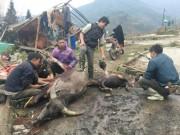 Lào Cai: Trâu, nghé chết la liệt, mổ bán ngay vệ đường