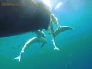 Video: 20 con cá mập xanh xé xác cá voi khổng lồ