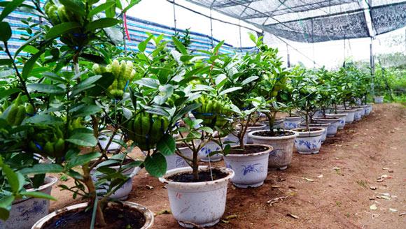 """Phật thó bonsai ví bạc triệu có nguy cơ """"cháy hàng"""" trước Tết - 1"""