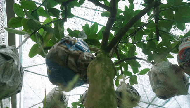"""Phật thó bonsai ví bạc triệu có nguy cơ """"cháy hàng"""" trước Tết - 11"""