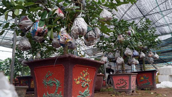 """Phật thó bonsai ví bạc triệu có nguy cơ """"cháy hàng"""" trước Tết - 12"""