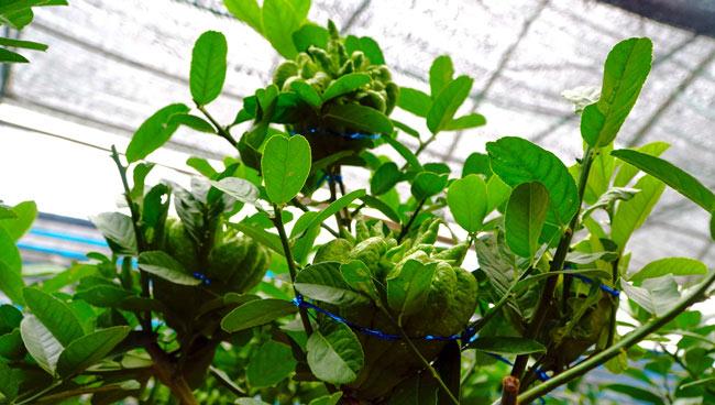 """Phật thó bonsai ví bạc triệu có nguy cơ """"cháy hàng"""" trước Tết - 2"""