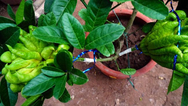 """Phật thó bonsai ví bạc triệu có nguy cơ """"cháy hàng"""" trước Tết - 3"""