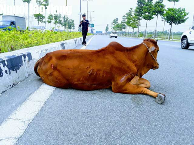 """Vụ con bò """"biến mất"""" tại trụ sở công an: Đã bán hay tiêu hủy? - 2"""