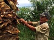 Xót xa cảnh nông dân đốn dừa chặn  đặc sản  - con đuông phá vườn