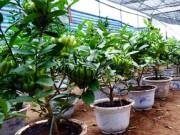 """Phật thủ bonsai giá bạc triệu có nguy cơ """"cháy hàng"""" trước Tết"""