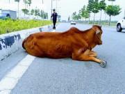 """Vụ con bò  """" biến mất """"  tại trụ sở công an: Đã bán hay tiêu hủy?"""