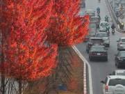 Trồng phong lá đỏ trên phố Hà Nội: Cây xứ lạnh có sống được?