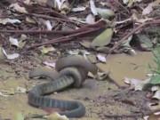 Video: Rắn hổ kịch độc bị rắn nâu khuất phục, nuốt chửng